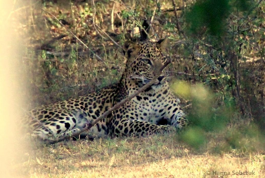 Safari w Parku Narodowym Yala-2875